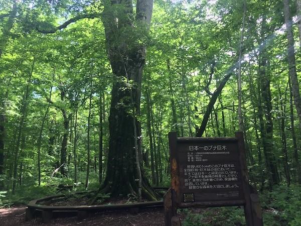 「森の神」こと、日本一のブナの巨木