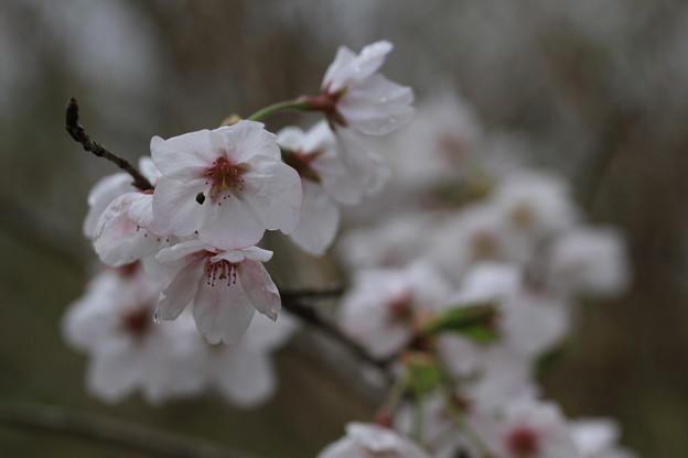 写真: 桜 その1