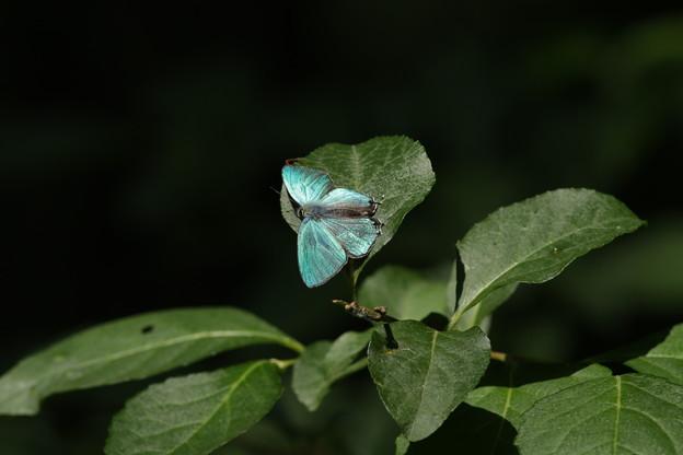 写真: オオミドリシジミ その8