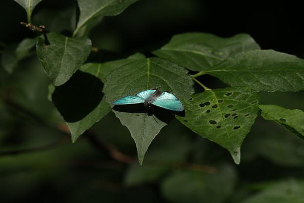 写真: オオミドリシジミ その9