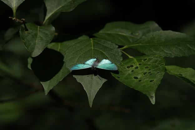 写真: オオミドリシジミ その10