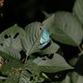 写真: オオミドリシジミ その21