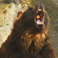 写真: 人喰い熊ならぬ・・・