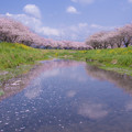 Photos: 草場川の桜並木♪