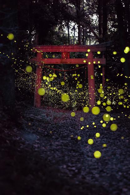 姫ボタルの季節♪3
