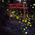 写真: 姫ボタルの季節♪3