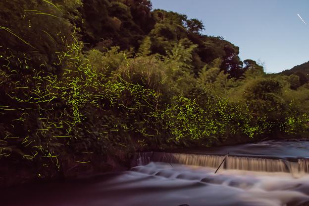 犬鳴川のホタル♪