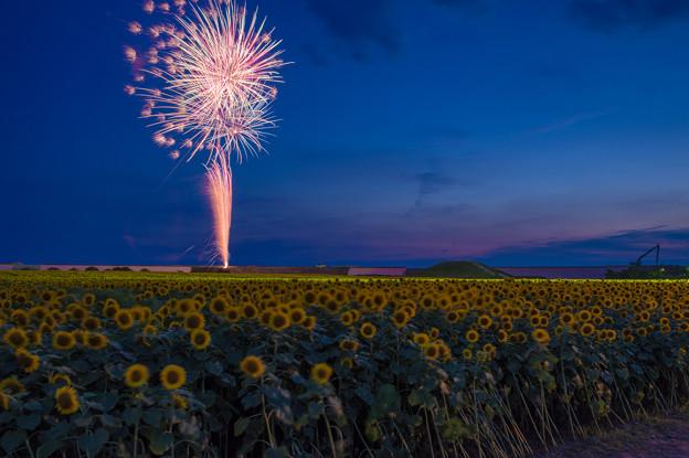 柳川ひまわり園と花火♪