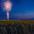 写真: 柳川ひまわり園と花火♪