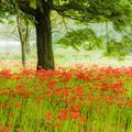 写真: 七つ森古墳群の彼岸花♪