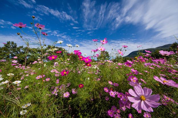 写真: ヒゴタイ公園の秋桜♪