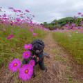写真: 秋桜散歩♪
