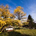 写真: お薬師寺様の大銀杏♪2