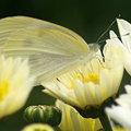 写真: 菊と蝶