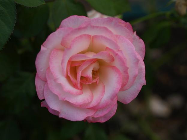 薄ピンクの薔薇