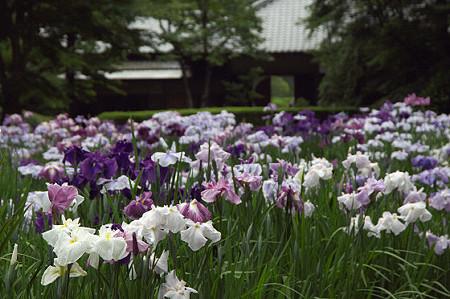 明月院の花菖蒲 01