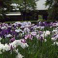 写真: 明月院の花菖蒲 01