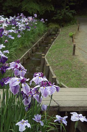 明月院の花菖蒲 03