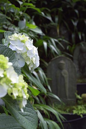 長谷寺の紫陽花 07