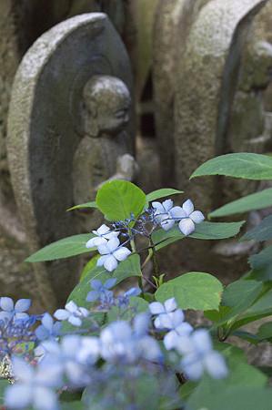 長谷寺の紫陽花 08
