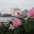 写真: ヴェルニー公園のバラ01