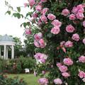 写真: ヴェルニー公園のバラ03