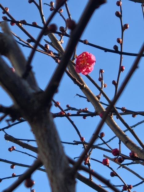 梅がもう咲いてる