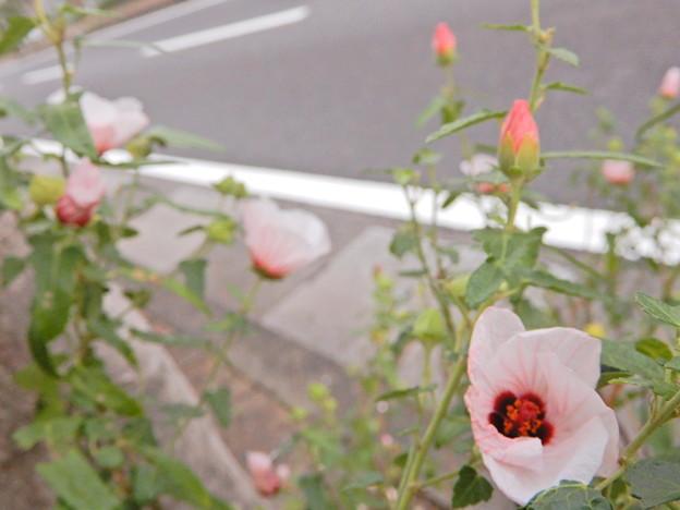 2017.9.19 街路樹花壇の高砂芙蓉up