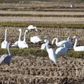 写真: 白鳥の群れ?