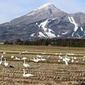 写真: 磐梯山と白鳥の群れ