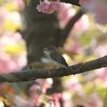 桜コサメビタキ