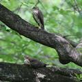 写真: ツミの雛のツーショット