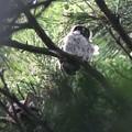 写真: アオバズクの雛さん
