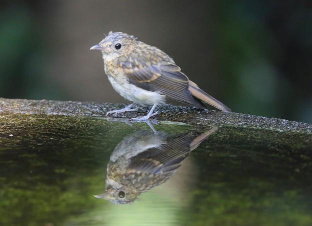 写真: キビタキの幼鳥