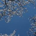 写真: 桜舞う。。。