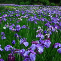 写真: 西山荘~西山の里・桃源の花菖蒲