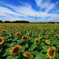 写真: 那珂市 ひまわり畑