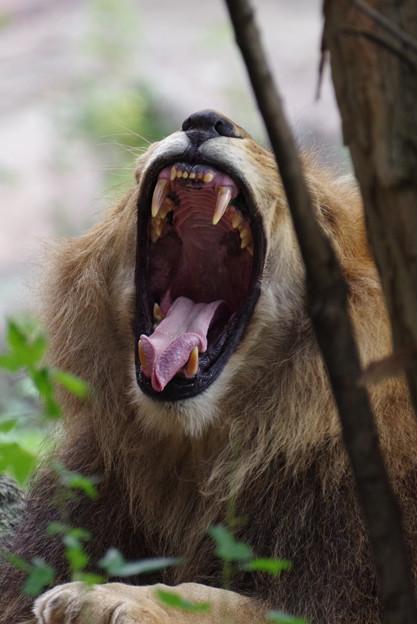あくびするライオン