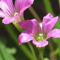 ムラサキカタバミの花♪