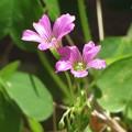 ムラサキカタバミの葉っぱと花♪
