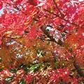 写真: いろはもみじの紅葉と黄葉♪