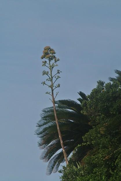 聖地の崖にすくすくリュウゼツランの花