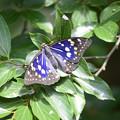 翅を乾かすオオムラサキ