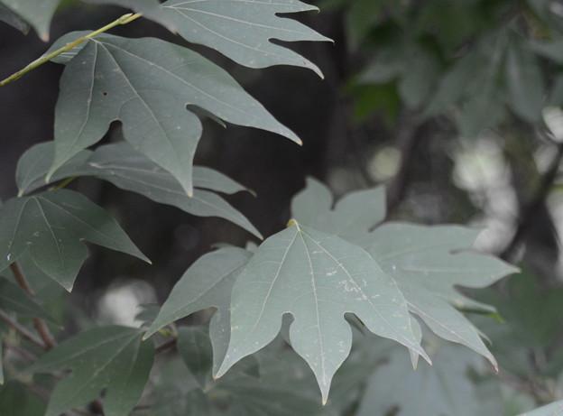 これがシロモジの葉
