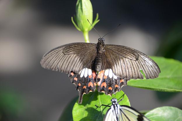 シロオビアゲハ (♀)