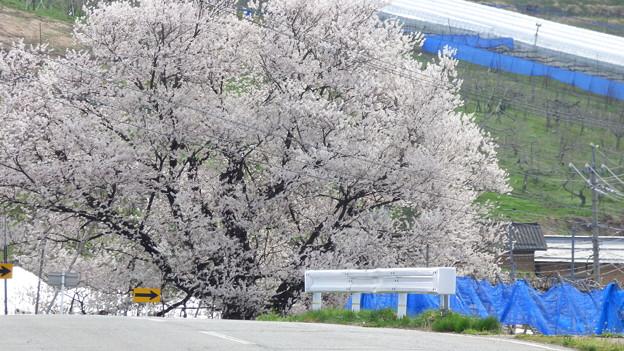 宇木の千歳桜樹齢850年
