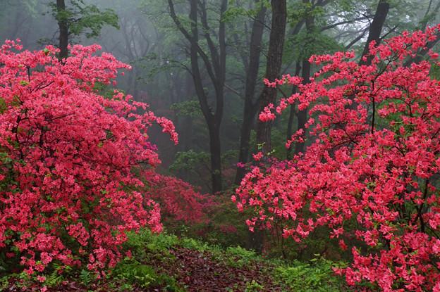 写真: ヤマツツジの森への入り口