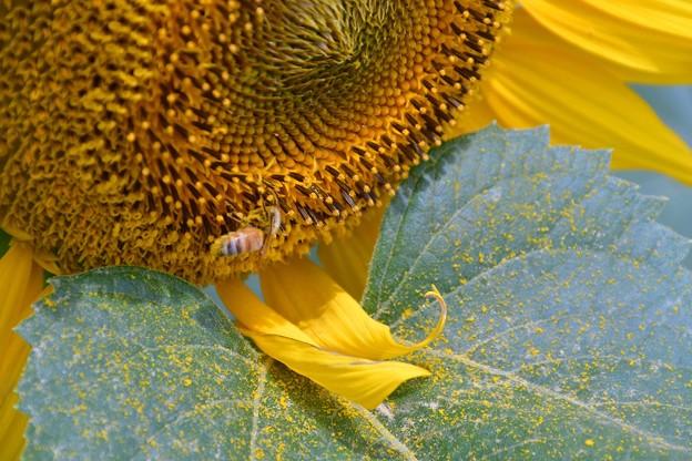 写真: 花粉まき散らかして