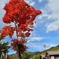 Photos: 赤いモミジ