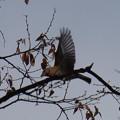 写真: アトリの飛ぶ姿